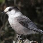 Whiskey Jack Bird (CANADA JAY) – Birds for Kids