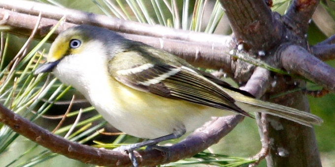 You are currently viewing WHITE-EYED VIREO – Birds for Kids