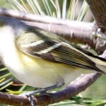 Read more about the article WHITE-EYED VIREO – Birds for Kids