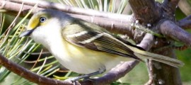 WHITE-EYED VIREO – Birds for Kids