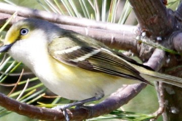 WHITE-EYED VIREO – Birds for Kids