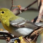 Read more about the article YELLOW-THROATED VIREO – Birds for Kids