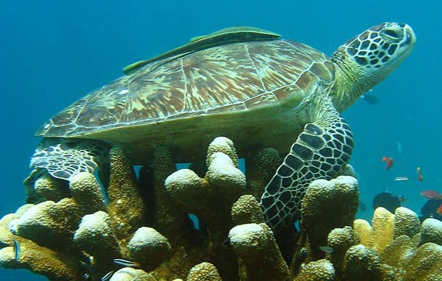 green-sea-turtle-facts-2