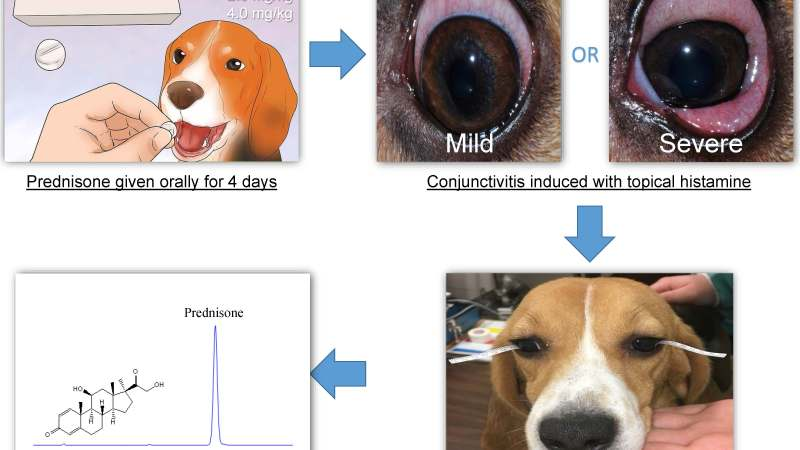 Pharmacokinetics of prednisone in tear fluid of dogs with or without conjunctivitis