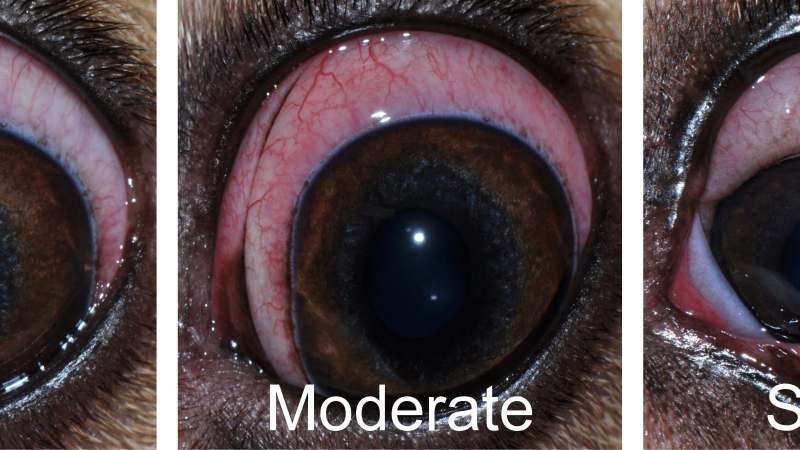 A novel in vivo model of conjunctivitis and breakdown of the blood-tear barrier in dogs