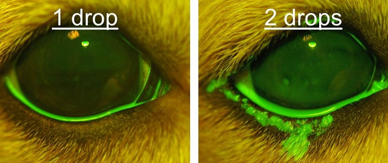 Topical ophthalmic delivery in dogs: Does size really matter?