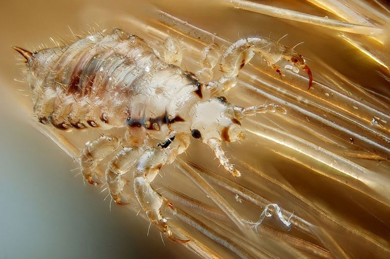 Can Head Lice Live On Pillows And Sheets? – Smart Sleeping ...