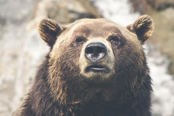 animal-brown-bear-dangerous