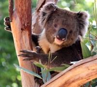 Koala bear in a Eucalyptus tree