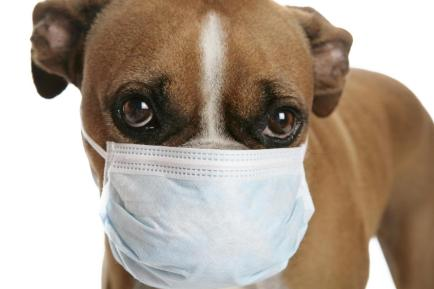 Boxer with medical mask on to protect from other dogs getting kennel cough.