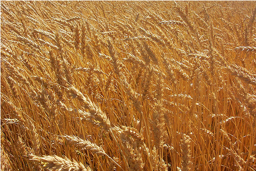 Domestic wheat prices have escalated by around 10 per cent