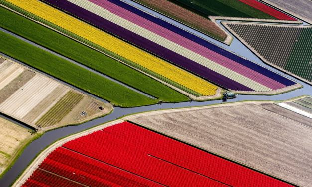 Photos of colorful, expansive flower fields in the Netherlands near one of the world's largest flower gardens