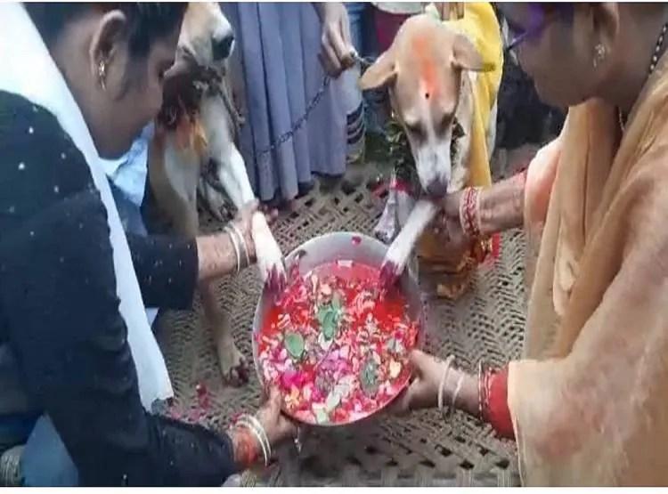 कुत्तों की शादी में पहुंचे सैकड़ों बाराती, बैंड-बाजे के साथ हुए फेरे