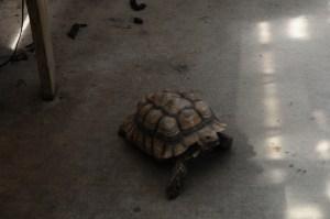 Turtle walks around the green house