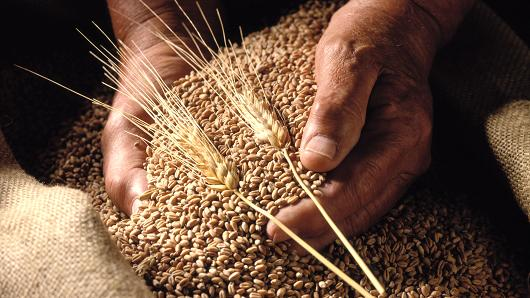 Wheat Harvest Sets Records in Punjab with 12.93 Lakh Tonnes Production
