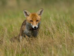 01 Fox Cub
