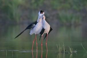 02. Black Winged Stilts Embrace by Paul Keene