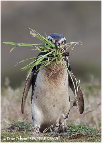 05 Magellanic Penguin carrying grass to nest burrow