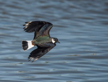 07 Lapwing in Flight