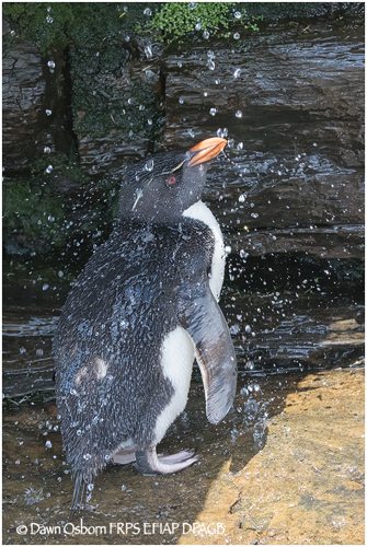 07 Rockhopper Penguin taking a shower