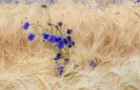 08 Cornflowers