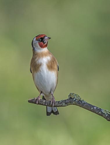 10 Goldfinch