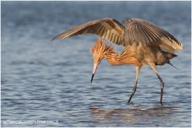 10 Reddish Egret fishing behaviour