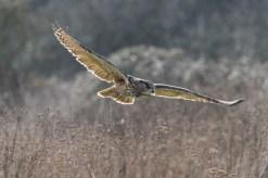 11 European Owl