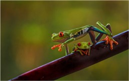 13. Red Eyed Treefrogs in Rain Forest by Margaret Tabner