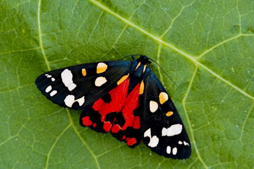 15 Scarlet Tiger Moth