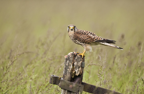17 Female Kestrel