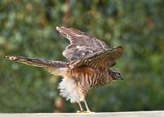 5.Sparrow Hawk