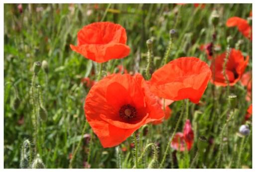 7 Poppies