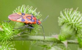 Corizus Hyoscuami