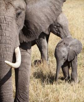 Elephant Trio Masai Mara