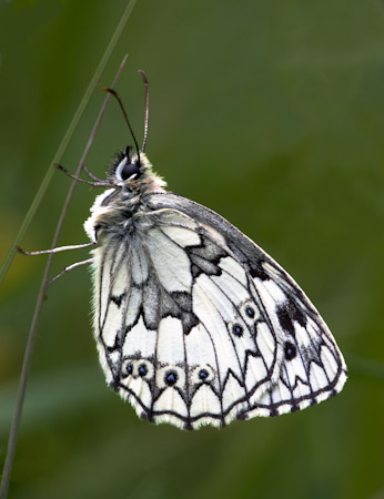 Marble White Butterfly