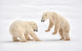 Polar Bear Submission - Michael Windle