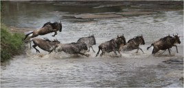 Wildebeest Crossing Talek River