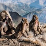 FIAP Gold Medal-Alpha Male Gelada Baboon-Mary Kirkby-England