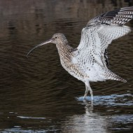 FIAP Ribbon-Curlew-Gill Smith-England