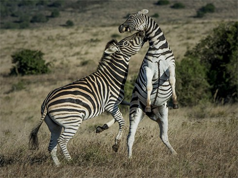 Fighting Zebras - Peter Siviter