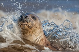 Grey Seal and Surf - Michael Windle