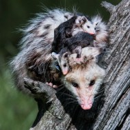 PAGB Silver Medal-Opossum with Family-Michael Windle-England