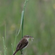 RPS Ribbon-Sedge Warbler with Crane-Fly-Sandy Cleland-Scotland