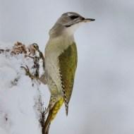SPS Silver Medal (Ian Whiston) Grey Headed Woodpecker-Nigel Spencer-England