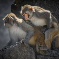 02 FIAP Silver medal-Monkey 133-Yi Wan MPSA-MPSA- China