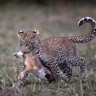 09 PAGB Gold Medal-Leopard Cub Dragging a Hare-Austin Thomas FBPE EFIAP MPAGB-FBPE EFIAP MPAGB- England