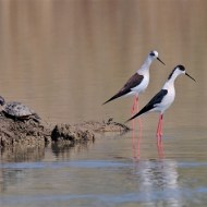 12 PSA Ribbon -BlackWinged Stilts Just Ignore Him 9520-Paul Keene FRPS MPAGB MFIAP EFIAPd2-FRPS MPAGB MFIAP EFIAPd2-England