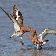 24 SPS Ribbon-Black Tailed Godwits Fighting-Len White CPAGB BPE4-CPAGB BPE4- England