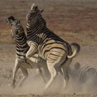 30 SPS Ribbon-Stallion Fight-Dewald Tromp APSSA-APSSA- South Africa